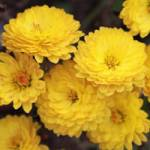 Chrysanthemum hortorum 'Bienchen' Chrysantheme, Winter-Aster