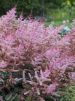 Astilbe chinensis 'Delft Lace' Lanzenspiere