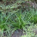 Carex morrowii Japan-Segge