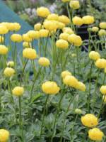 Trollius cultorum 'Lemon Queen' Trollblume