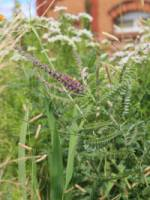 Amorpha canescens Bleiwurz