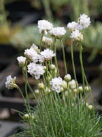 Armeria maritima 'Morning Star White' Grasnelke