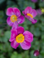 Anemone japonica 'Pink Kiss ®' Herbst-Anemone