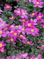 Anemone japonica 'Fantasy Red Riding Hood ®' Herbst-Anemone