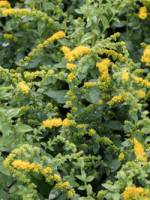 Solidago sphacelata 'Golden Fleece' Gefleckte Goldrute