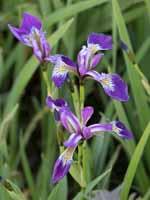 Schwertlilie Versicolor Kermesina Iris versicolor