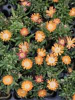 Delosperma cultorum 'Jewel of Desert Topaz ®' Mittagsblume