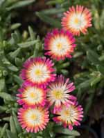 Delosperma cultorum 'Jewel of Desert Ruby ®' Mittagsblume