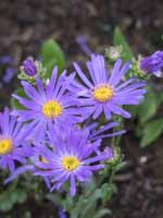 Aster amellus 'Blue King' Berg-Aster