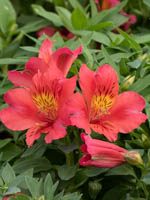 Alstroemeria cultorum 'Little Miss Tara ®' Inkalilie