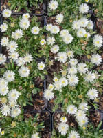 Delosperma cultorum 'Jewel of Desert Moonstone ®' Mittagsblume