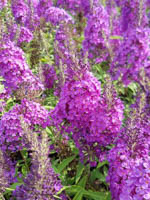 Buddleja x cultorum 'Summer Bird® Blue' Sommerflieder, Schmetterlingsstrauch