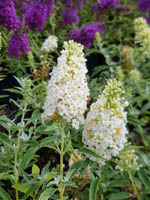 Buddleja x cultorum 'Summer Bird® White' Sommerflieder, Schmetterlingsstrauch