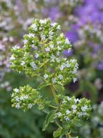 Origanum vulgare 'Hot and Spicy' Scharfer Oregano