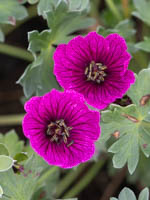 Geranium cinereum 'Jolly Jewel Purple ®' Aschgrauer Storchschnabel