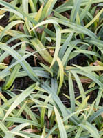 Carex laxiculmis 'Bunny Blue' Japan-Segge