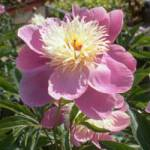 Paeonia lactiflora 'Bowl of Beauty' Chinesische Pfingstrose