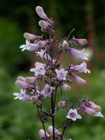 Penstemon digitalis 'Dark Towers ®' Fingerhutförmiger-Bartfaden