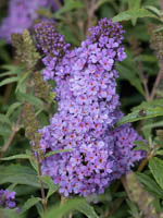 Buddleja x cultorum 'Summer Bird® Compact Purple' Sommerflieder, Schmetterlingsstrauch