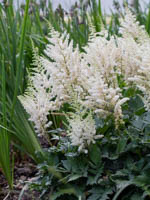 Astilbe chinensis 'Visions in White ®' Lanzenspiere