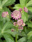 Astrantia major 'Star of Beauty ®' Sterndolde