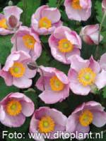 Anemone hupehensis 'Little Princess ®' Herbst-Anemone