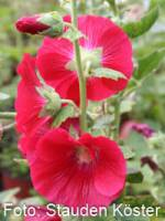 Alcea rosea (Spotlight-Serie) 'Mars Magic' Ungefüllte Stockrose