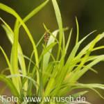 Carex foliosissima 'Irish Green' Grüne Segge
